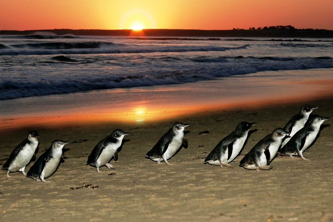 the smallest penguins in the world waddle up the shore at Phillip Island, Victoria