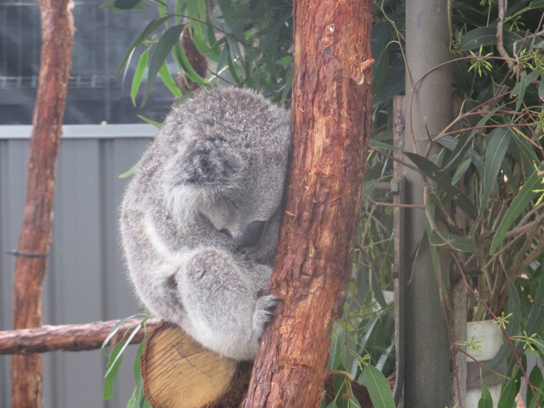 a koala sleeps while sat in its tree at the koala hospital