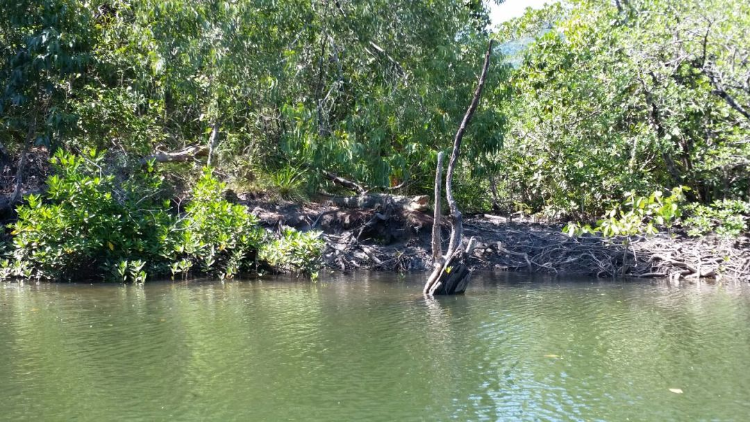a four and a half metre crocodile taking a break on the river bank in cairns